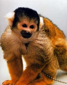A close up of a monkey Description generated with very high confidence